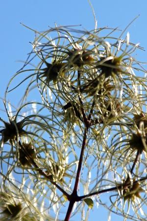 pflanze: Eine Pflanze mit langen Tentakeln vor blauem Himmel.