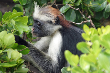 bl: Eastern red colobus side in tree Stock Photo