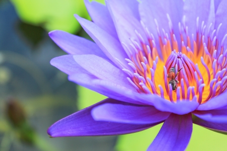 one bee on violet pink lotus on. photo