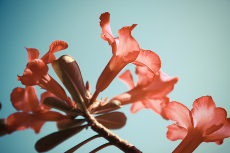 Adenium flowers in vintage style sky background Stock Photo - 25876639