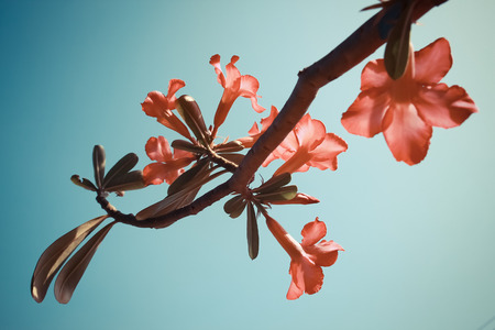 Adenium flowers in vintage style sky background Stock Photo - 25876641