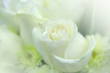 colorize: Beautiful White rose flower Stock Photo