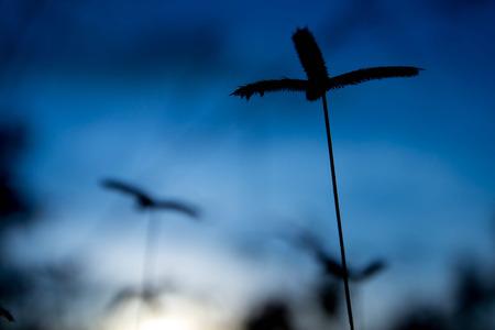 limp: Grass flowers backlit sunset. blue sky background.