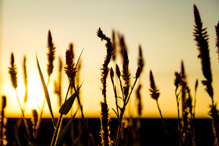 Grass flowers backlit sunset. photo