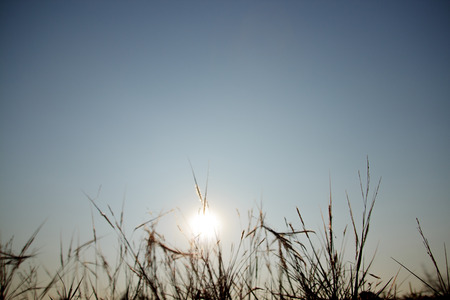 cane plumes: grass flowers backlit sunset Stock Photo