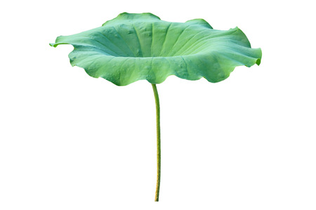 Lotus leaf. isolate on white background. Banco de Imagens