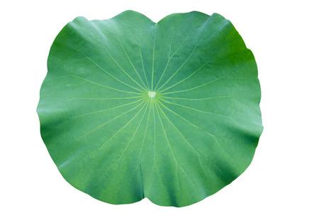 蓮の葉。白い背景に分離します。