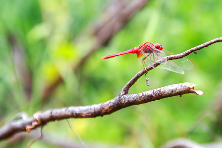 dropwing: Red Dragonfly on a branch.