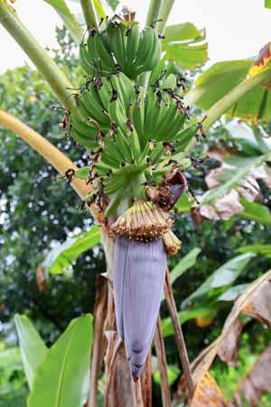 Banana tree with flower and Banana blossom. photo