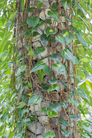 piperaceae: Piper betle Linn.  PIPERACEAE Stock Photo