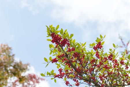 赤いナナカマドや多くの緑の葉の枝の山の灰の束 写真素材