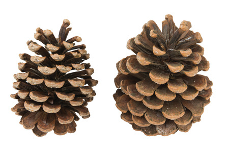 Two dried pine cones on isolated white background