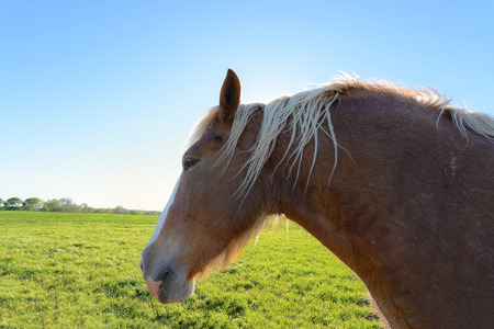 rance: Close up head shot of brown horse on green open field