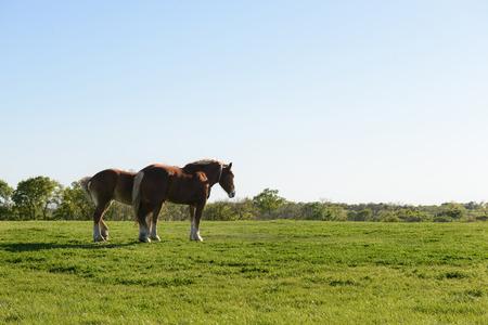 rance: Two horses walking on open green grass field Stock Photo