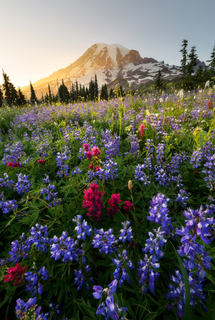 Varity of wildflowers in Mount Rainier National Park, Washington. Summer blooming. Close up shot. Zdjęcie Seryjne