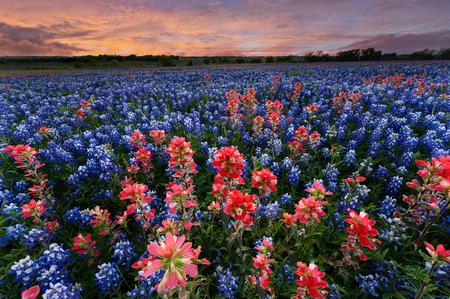 야생 꽃 Ennis시, 텍사스, 미국, 일몰, 황혼에서 Bluebonnet