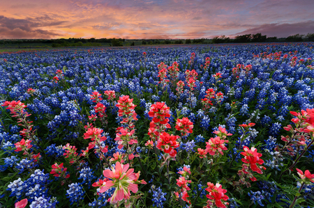 Wild flower Bluebonnet in Ennis City, Texas, USA, at sunset, dusk Stock Photo