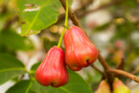 chomp: Rose apples on tree in orchard,Thailand