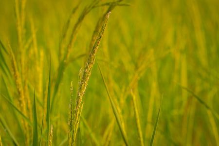 paddy: Rice, crop, golden,Closeup of rice ear on plantation. Stock Photo