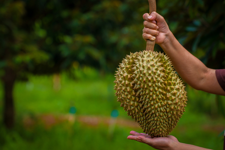 Durian, hold objects to show, Durian is pleasing aroma filled up with food for all ages.