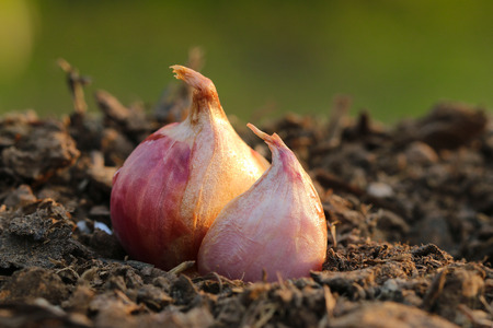 progressively: Onions are ready to grow progressively.