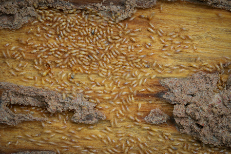 factions: Worker and nasute termites on wood Stock Photo