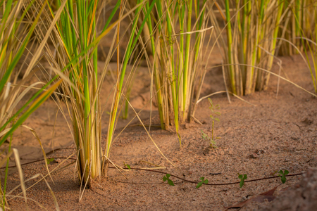 Global Warming, rice, dry.