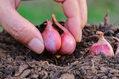 progressively: Hands planting onions to grow progressively.