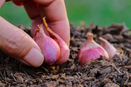 progressively: Shallot, Red onion, plants, seedlings. Hands planting onions to grow progressively.