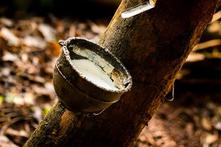 Gummi, Latex, Feldlatex aus Gummibaum (Hevea brasiliensis) extrahiert