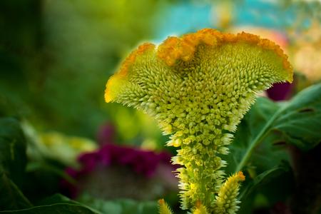 celosia: Celosia cristata, Celosia