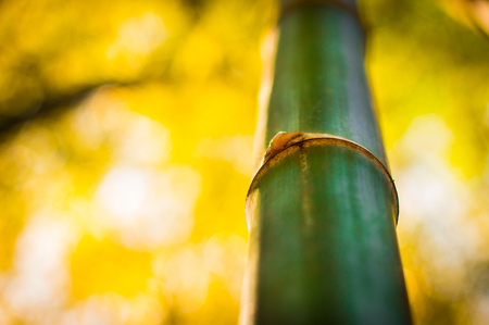 Bambus gerade grün Standard-Bild - 99209082