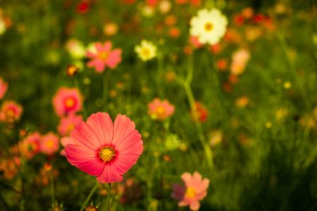 Cosmos,Kosmos,Cosmos,Cosmos flower of the imagination. Standard-Bild - 100198109
