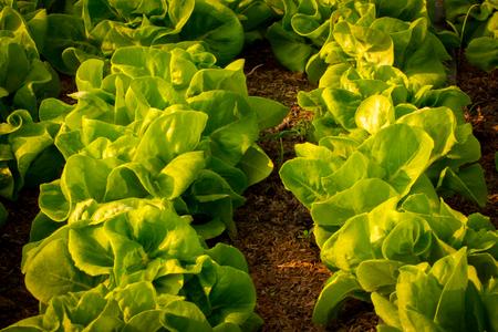 Farmer grows lettuce for family meals. Standard-Bild - 100198107