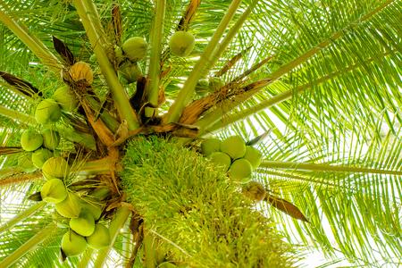 Coconut on the tree. Standard-Bild - 102889464