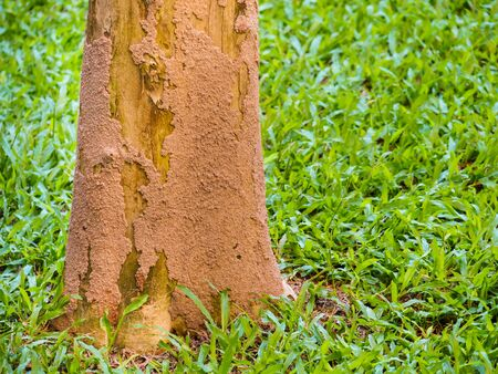 Termites are a problem with many trees. Especially the big trees that grown in dry places. Standard-Bild - 126118207
