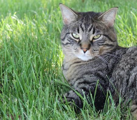domestic: Domestic Tiger Stripe Cat Stock Photo
