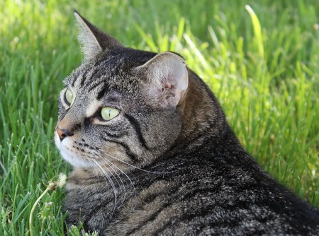 stripe: Domestic Tiger Stripe Cat Stock Photo