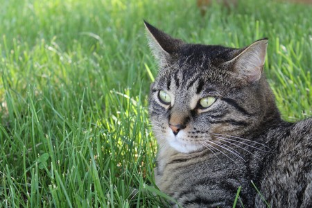 tiger stripe: Domestic Tiger Stripe Cat Stock Photo