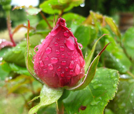 Tight red rose with water droplets after a spring rain