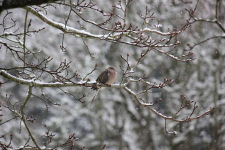 A puffed up Mourning Dove resting on a maple tree branch during a winter snowfall Stock Photo