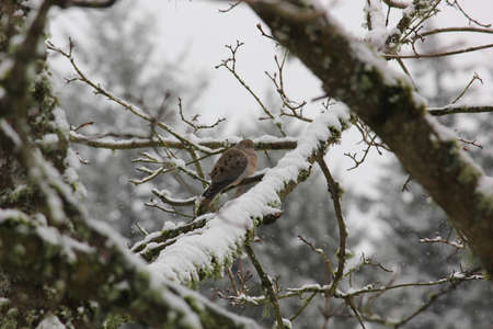 Puffed up Mourning Dove resting on a maple branch on a snowy winter morning