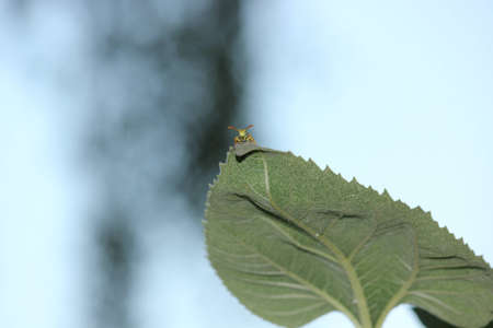 A focused Yellow Jacket Wasp with an alien appearance stopped on the tip top of a large sunflower leaf  Stock Photo