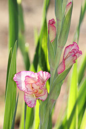 Gladiolus buds bursting open with outlined pink and white pedals  Stock Photo