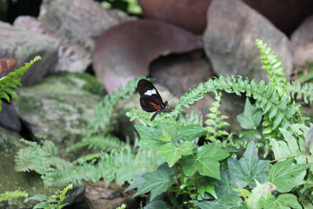A close up focused image of an exotic butterfly resting at the end of a green fern plant