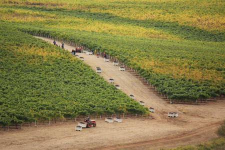 Aerial view of the manual labor of workers to harvest grapes at an Oregon vineyard showing full metal totes as the vines on the plants are starting to change to fall colors  Stock Photo