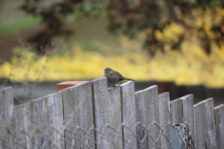 A Beautiful healthy pacific northwest Oregon song Sparrow resting on a tiered old wooden fence
