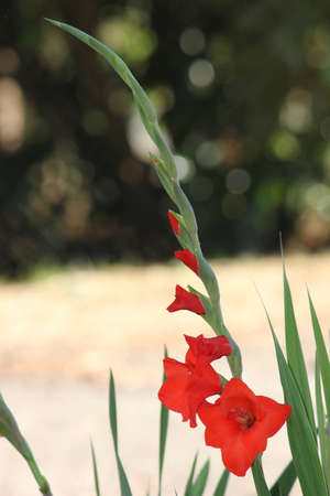Full vertical blooming red Gladiolus bursting with blooms from buds to full flowers with circles of confusion in background