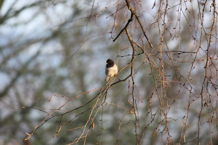Curious Young Fluffy Feathered Oregon Dark-Eyed Junco, Pausing On A hanging White Birch Tree Branch Soaking Up Sun