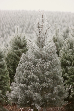 Extremely cold Frosty Young Pine Tree Showing detailed frosted pine needles with a vertical background view of a large Christmas tree farm in Oregon  Stock Photo